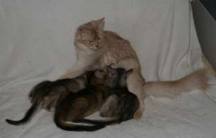 Edelweiss et ses 3 chatons